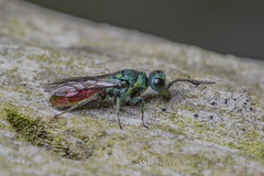 _IMG0775 Chrysididae - Ruby-tailed wasp at Old Moor RSPB (Pete.L .Hawkins Photography) Tags: old macro wasp moor rspb irix 150mm chrysididae rubytailed pentaxk1 petehawkins petehawkinsphotography petelhawkinsphotography petelhawkins pentaxpictures eye bug insect fly flying compound wings eyes beetle shell ground 11 creepy veins f28 crawly wildlifephotographer invertebrate bugeyes 6legs naturesfinest uglybug flyingbug naturephoto elytra fantasticnature wildlifephoto incrediblenature naturewatcher fabulousnature unusualcreature petehawkinsphotographycom