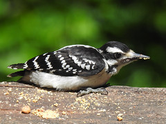 Young Hairy Woodpecker (annette.allor) Tags: birds woodpecker nature wildlife hairy deck outdoors suet feeder