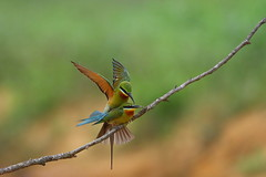 Blue-tailed bee-eater (jonus weng) Tags: 600mm 1dx2 eos canon mating beeeater bluetailed 金門 栗喉蜂虎 蜂虎
