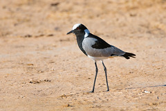 Blacksmith's lapwing (Shane Jones) Tags: blacksmithslapwing lapwing bird wader nature wildlife hwangenationalpark zimbabwe africa safari nikon d850 200400vr tc14eii