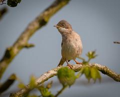 Common whitethroat (David Brooker) Tags: sylvia communis common whitethroat warbler bird