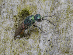 _IMG0764 Chrysididae - Ruby-tailed wasp at Old Moor RSPB (Pete.L .Hawkins Photography) Tags: chrysididae rubytailed wasp old moor rspb petehawkins petelhawkinsphotography petelhawkins petehawkinsphotography 150mm irix macro pentaxpictures pentaxk1 petehawkinsphotographycom f28 11 fantasticnature fabulousnature incrediblenature naturephoto wildlifephoto wildlifephotographer naturesfinest unusualcreature naturewatcher insect invertebrate bug 6legs compound eyes creepy crawly uglybug bugeyes fly wings eye veins flyingbug flying beetle shell elytra ground