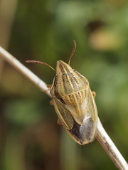 Aelia acuminata (Pip Sunmas) Tags: aeliaacuminata bishopsmitreshieldbug hemiptera heteroptera pentatomidae p6143230