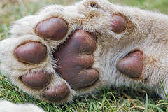 The paw of a cub (Tambako the Jaguar) Tags: wild white cute grass cat southafrica cub big paw nikon hand close lion young johannesburg lionsafaripark pawpad d850