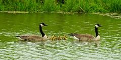 Canada Geese, Branta canadensis (2) (Herman Giethoorn) Tags: canadageese geese goslings waterfowl