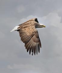 White Tailed Sea  Eagle 1S9A2047 (saundersfay) Tags: whitetailedseaeagle predator talons fishing bird mull