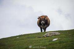 El lenguaje de la mirada (SantiMB.Photos) Tags: 2blog 2tumblr 2ig catllaràs berguedà barcelona castelldelareny vilada otoño autumn vaca cow geo:lat=4220187762 geo:lon=194545831 geotagged cataluna españa