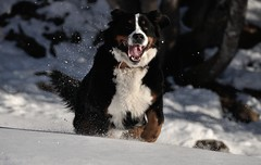 lady chien (Funky_GG) Tags: bouvier bernois chien dog snow neige