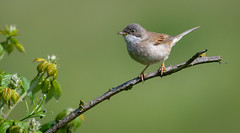 Common whitethroat (David Brooker) Tags: common whitethroat warbler bird sylvia communis