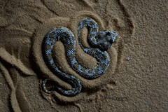 Cerastes cerastes (Matthieu Berroneau) Tags: sony alpha ff 24x36 macro nature wildlife animal fe sonya7iii sonya7mk3 sonyalpha7mark3 sonyalpha7iii a7iii 7iii 7mk3 sonyilce7m3 herp herping trip israel israël reptile reptilian reptilia serpent 90 f28 g oss fe90f28macrogoss sonyfesonyfe2890macrogoss objectifsony90mmf28macrofe sel90m28g snake cerastes cerastescerastes vipère à cornes vipèreàcornes saharan horned viper saharanhornedviper achanhartumim achan hartumim