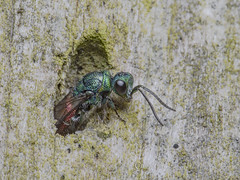 _IMG0788 Chrysididae - Ruby-tailed wasp at Old Moor RSPB (Pete.L .Hawkins Photography) Tags: chrysididae rubytailed wasp old moor rspb petehawkins petelhawkinsphotography petelhawkins petehawkinsphotography 150mm irix macro pentaxpictures pentaxk1 petehawkinsphotographycom f28 11 fantasticnature fabulousnature incrediblenature naturephoto wildlifephoto wildlifephotographer naturesfinest unusualcreature naturewatcher insect invertebrate bug 6legs compound eyes creepy crawly uglybug bugeyes fly wings eye veins flyingbug flying beetle shell elytra ground