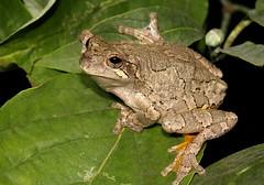 Gray Treefrog (Hyla versicolor) (jd.willson) Tags: jd willson jdwillson nature wildlife herps herping frog anuran arkansas gray treefrog hyla versicolor