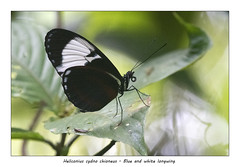 Blue and white longwing (Jan H. Boer, Nature photographer) Tags: heliconiuscydnochioneus blueandwhitelongwing butterflies insects macro nature costarica yatamaecolodge nikon d500 afsnikkor200500f56eedvr jan´sphotostream2019