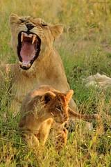 Panthera leo (Rémi Bigonneau) Tags: pantheraleo liondafrique africanlion lion cat wildlife nature animal mammal africa afrique southafrica krugernationalpark kruger afriquedusud