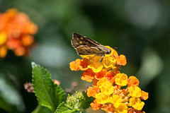 Fiery Skipper (Hylephila phyleus) (ACEZandEIGHTZ) Tags: hylephilaphyleus fieryskipper nikond3200 flowers bright colors bokeh lantana leaves nature butterfly moth hesperides flyinginsect