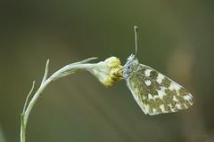 En mi columpio (Pontia daplidice) (DigitalOscura) Tags: macrofotografía macro mariposas lepidopteros lepidoptera insectos desenfoque
