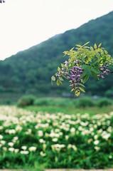 More wisteria (ross.mccarry) Tags: taipei taiwan fuji 35mm film calla lily yangminshan mountain velvia kodak ektar asia nikon voigtlander 58mm