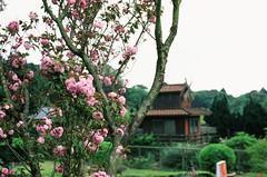 Cherry blossom and windmill (ross.mccarry) Tags: taipei taiwan fuji 35mm film velvia kodak ektar asia nikon voigtlander 58mm