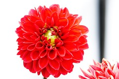 Floating dahlia. #Takoma #dc #dclife #washingtondc #canon #rebelxs #realcamera #Canon #EFS60mm #macro  #flower #flowersofinstagram (Kindle Girl) Tags: realcamera takoma dc dclife washingtondc canon rebelxs efs60mm macro flower flowersofinstagram