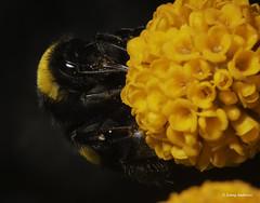 A Wee Bee (jonny.andrews65) Tags: bee flower orange mountstewart nationaltrust newtownards countydown northernireland nikon d7200 tamron 90mm macro