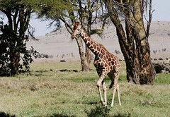 Reticulated Giraffe (Giraffa camelopardalis reticulata) (Susan Roehl) Tags: kenya2015 lewawildlifeconservancy kenya eastafrica reticulatedgiraffe giraffacamelopardalisreticulata somaligiraffe 15780 inthewild ninesubspecies caninterbreedwithothersubspecies somalia southernethiopia northernkenya savannas woodlands seasonalfloodplains rainforests severalconservationorganizations sandiegozoo sueroehl photographictour naturalexposures lumixdmcgh4 100400mmlens handheld coth5 ngc