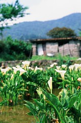 Velvia was worth it (ross.mccarry) Tags: taipei taiwan fuji 35mm film calla lily yangminshan mountain velvia kodak ektar asia nikon voigtlander 58mm