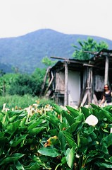 Lily shack 2 (ross.mccarry) Tags: taipei taiwan fuji 35mm film calla lily yangminshan mountain velvia kodak ektar asia nikon voigtlander 58mm