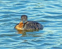 Happy Father's Day (edmason88) Tags: fathergrebe wetlands waiting eggs tamron150600 strathconacounty alberta canada