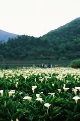 Lily pickers (ross.mccarry) Tags: taipei taiwan fuji 35mm film calla lily yangminshan mountain velvia kodak ektar asia nikon voigtlander 58mm