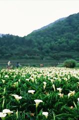 More lilies (ross.mccarry) Tags: taipei taiwan fuji 35mm film calla lily yangminshan mountain velvia kodak ektar asia nikon voigtlander 58mm