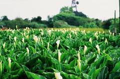 Calla lilies (ross.mccarry) Tags: taipei taiwan fuji 35mm film calla lily yangminshan mountain velvia kodak ektar asia nikon voigtlander 58mm