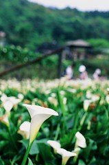 Bokeh lily (ross.mccarry) Tags: taipei taiwan fuji 35mm film calla lily yangminshan mountain velvia kodak ektar asia nikon voigtlander 58mm