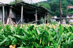 Lily shack (ross.mccarry) Tags: taipei taiwan fuji 35mm film calla lily yangminshan mountain velvia kodak ektar asia nikon voigtlander 58mm