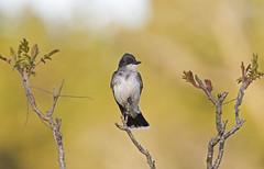 Eastern kingbird (IshranI) Tags: eastern kingbird ontario