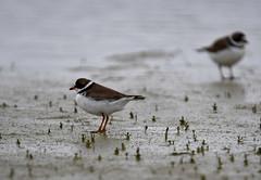 Pluvier semipalmé Lemoyne 16 juin 2019 (frankthewood63) Tags: 2019 valdor abitibi québec oiseaux oiseau birds bird