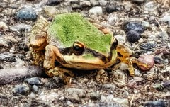 It ain't easy being green (Gunn Shots (On and off these days)) Tags: pacifictreefrog frog chorusfrog novato
