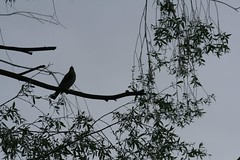perched (EllaH52) Tags: bird crow tree branches leaves blue summer minimalism simplicity atmosphere