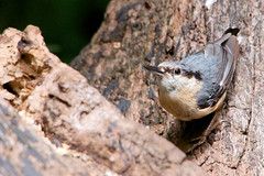Nuthatch (Airwolfhound) Tags: lackfordlakes nuthatch