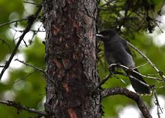 Mésangeai du Canada Lemoyne 16 juin 2019 (frankthewood63) Tags: 2019 valdor abitibi québec oiseaux oiseau birds bird