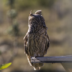 Long-eared Ovl - Eyrugla - Asio otus (ingolfssonvalur) Tags: eyrugla asiootus longeared owl bird iceland wildlife nature