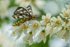 トンボエダシャク (Cystidia stratonice) (takapata) Tags: sony sel90m28g ilce7m2 macro nature insect moth
