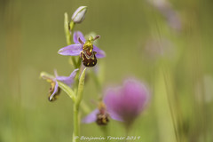 Bee orchid (frattonparker) Tags: btonner beeorchid bokeh isleofwight lightroom6 nikkor105mmafsmicrof28ged nikond810 orchid prime raw frattonparker pareidolia gesichter foundobjectswithfaces
