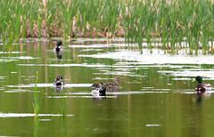 Canards Pilets Lemoyne 16 juin 2019 (frankthewood63) Tags: 2019 valdor abitibi québec oiseaux oiseau birds bird