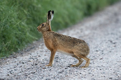 Brown Hare (drbut) Tags: brownhare lepus mamal animal farmland countryside wildlife nature