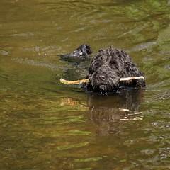(sabinebeu) Tags: hund chien dog niederrhein wasserhund portugiesischerwasseehund carls