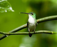 0P7A2517  Andean Emerald Hummingbird, Ecuador (ashahmtl) Tags: andeanemerald bird hummingbird amaziliafranciae mindo pichinchaprovince ecuador