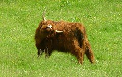 the itch (Jackal1) Tags: highlandcow hairy scotland countryside horns animal nature