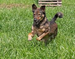 Mia (sarasocke) Tags: 241challenges2019 dog flickr green hund lumixg9 rumänien tier grün gras