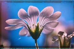 Vintage summer flower (BigWhitePelican) Tags: finland macro flower nature retro canoneos70d adobelightroom6 niktools 2019 june