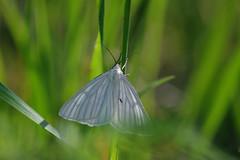 Mustsoonvaksik. Siona lineata (Jaan Keinaste) Tags: pentax k3 pentaxk3 eesti estonia loodus nature ööliblikas moth mustsoonvaksik sionalineata